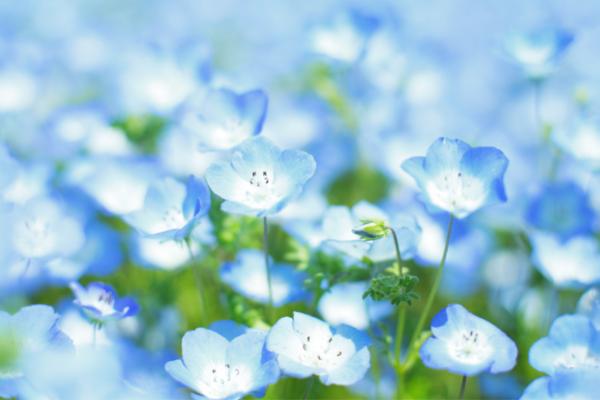 5月の花ネモフィラ