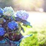 6月の花あじさい